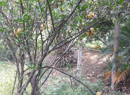Lessons in fruit growing: Pruning pomegranate trees!