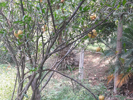 Fruit Trees in Permaculture: Pomegranate