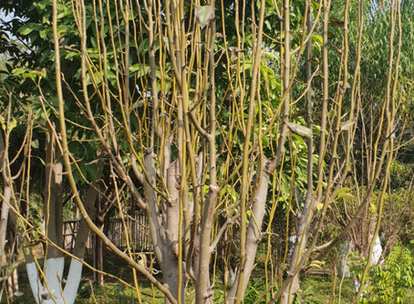 Lessons in fruit growing: Pruning pear trees!