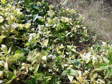 Growing Urad Dal | Black Gram