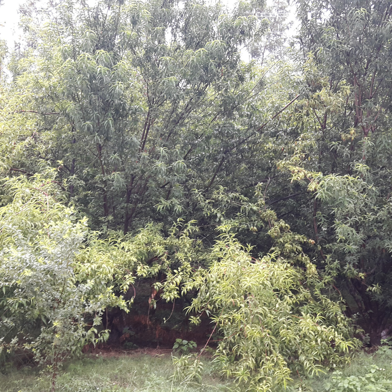 Overgrown peach trees need to be rejuvenated and pruned for good fruit production,