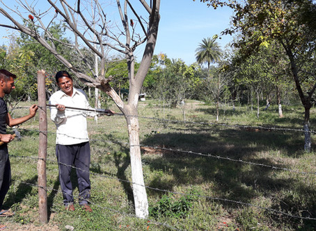 Protecting our Orchard from Goats & Cows