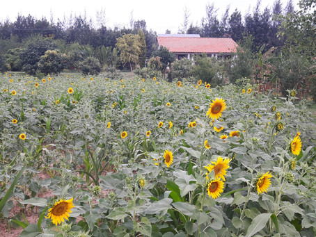 Growing Sunflower to make Oil
