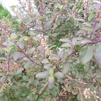 Holy Basil (Krishna Tulsi) Seeds