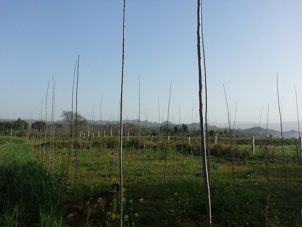 Field with Poplar trees