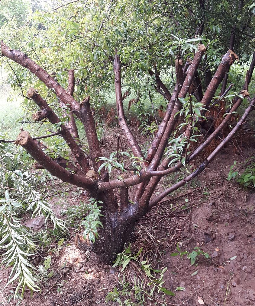 Peach tree cut back to rejuvenate it