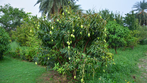 Growing Mangoes at Aanandaa
