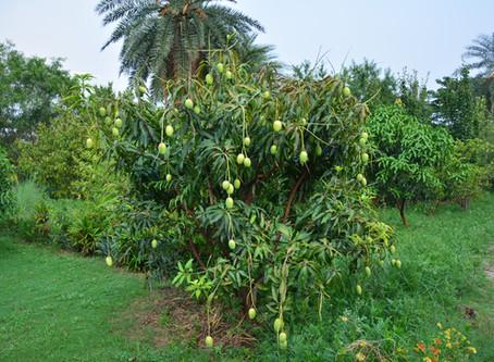 Growing Mangoes at Aanandaa