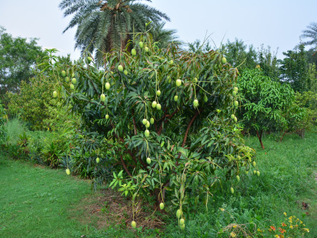 Fruit Trees in Permaculture: Mango