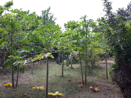 Fruit Trees in Permaculture: Papaya