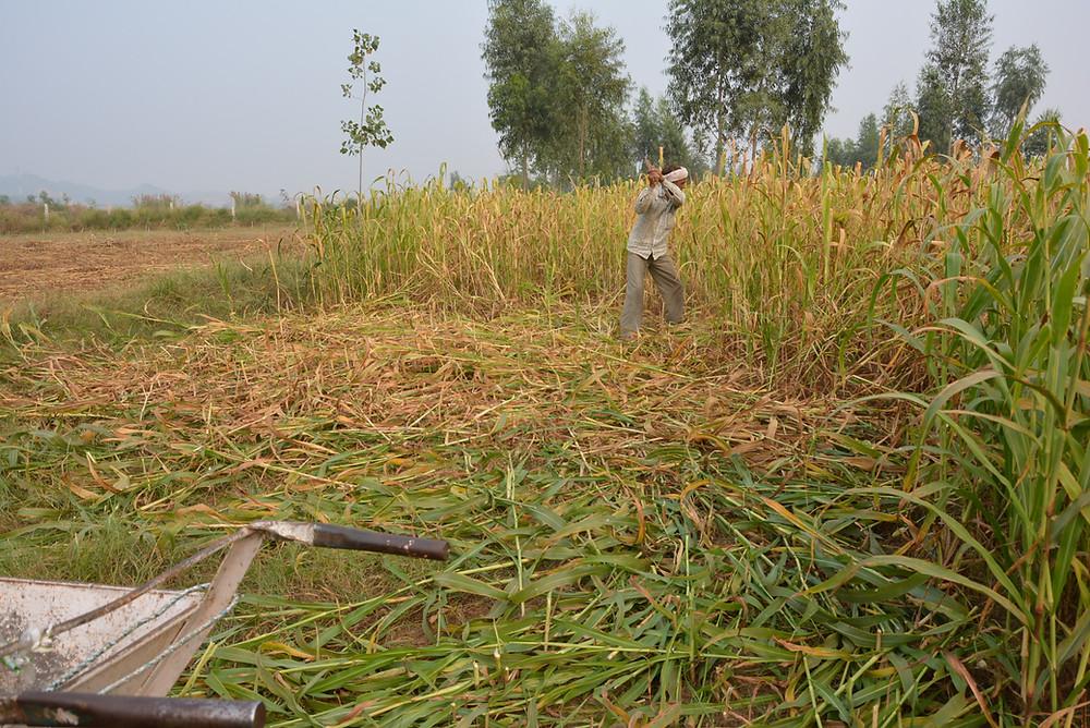 slashing pearl millet crop