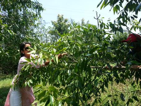 Herbs in Permaculture: Harvesting Bay Leaves