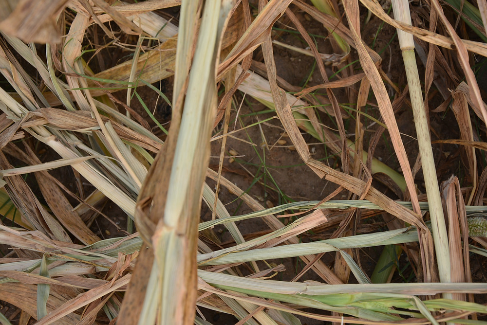 germinating wheat