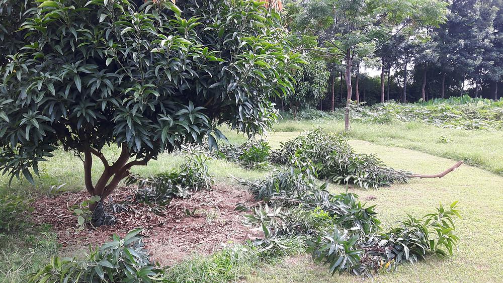 mango tree being pruned
