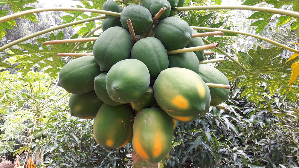 Papayas on the tree