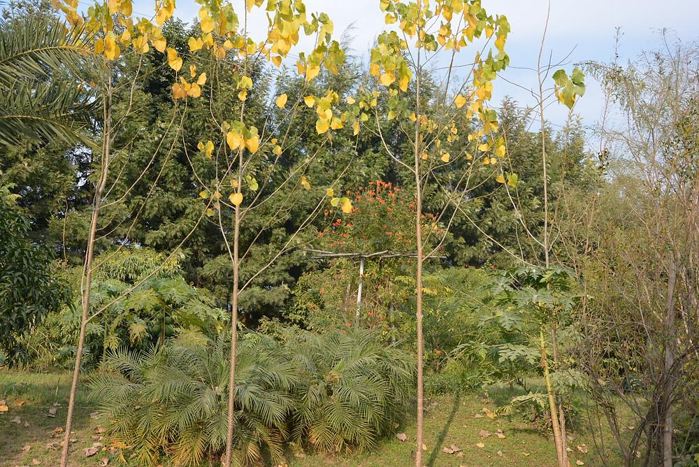 Poplar at Aanandaa Permaculture Farm