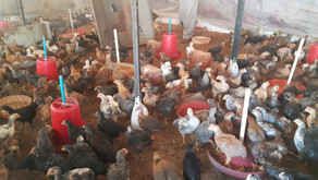 Introducing Hens!