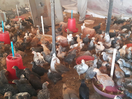 Animals in Permaculture: Kuroiler Hens