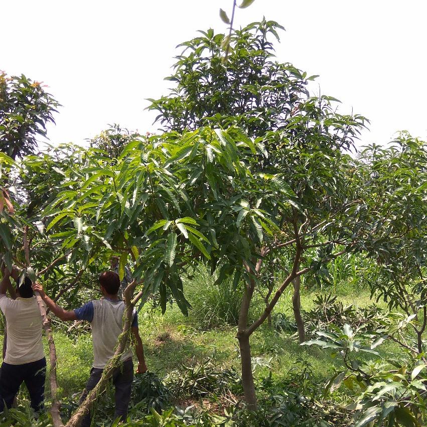 Trimmed Pruned Mango tree