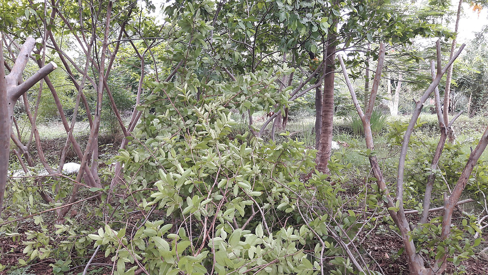 guava trees pruning