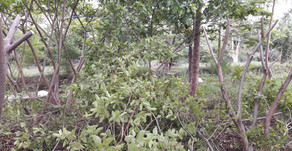 Lessons in Fruit Growing: Guavas
