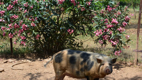 Animals in Permaculture: The Pigs