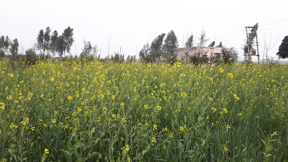 mustard sarson field in winter