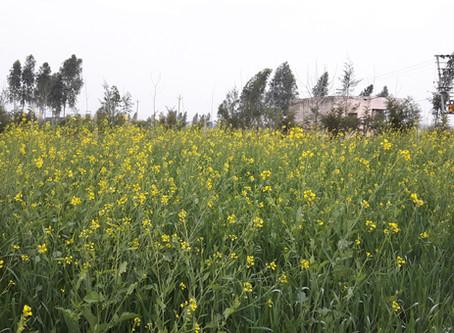 Growing Mustard   Sarson for Oil, Rai and Mustard Sauce