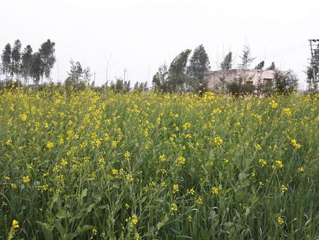 Growing Mustard | Sarson for Oil, Rai and Mustard Sauce