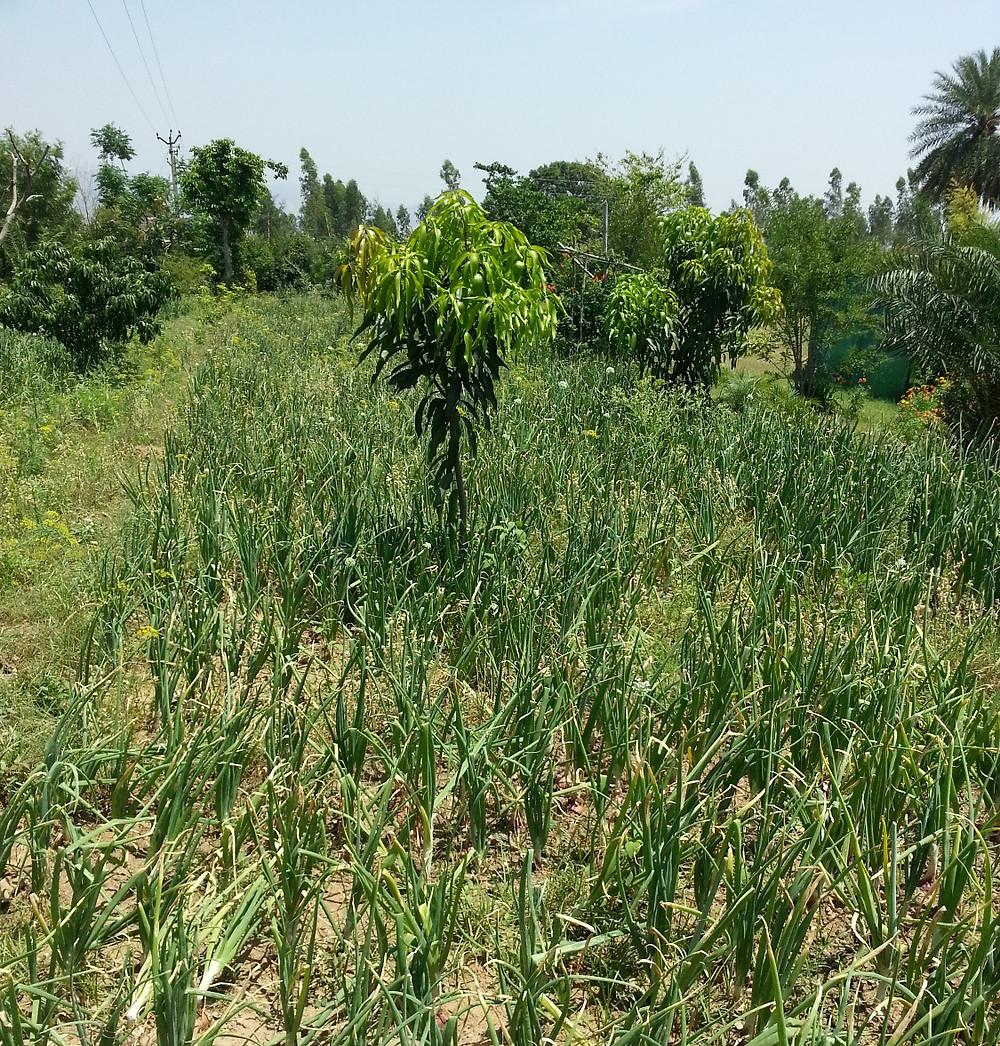 Onions in the field