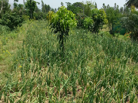 Growing Onions at Aanandaa