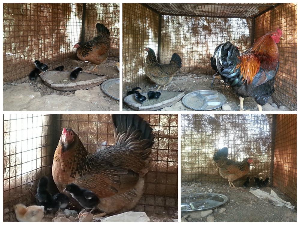 Little baby Chicks born at Aanandaa