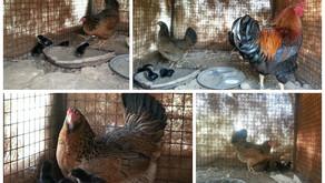 Having Chicks at Aanandaa