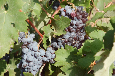 eumelia-farm-grape-harvest