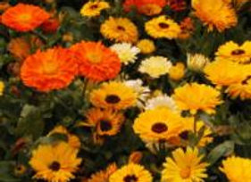 Potted Calendula  (Old English Marigold)
