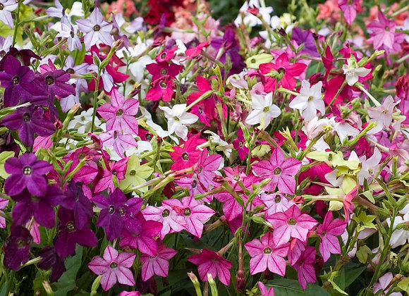 Potted Nicotiana *smaller pot