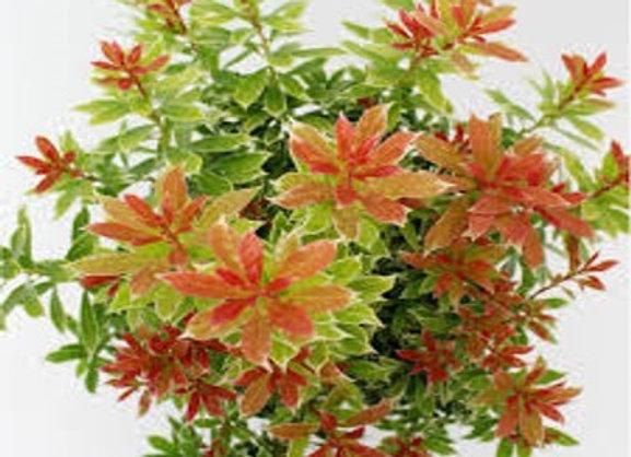 Pieris japonica 'Little Goldy'