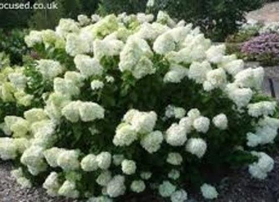 Hydrangea paniculate' Limelight'