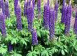 Potted Assorted Lupins