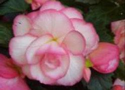 Begonias (6)