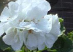 Geranium (6)