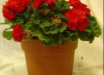 Potted Geranium (Red, White, Pink)
