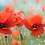 Thumbnail: Pampille parfumée fleur de coquelicot