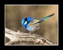 Splendid Fairy-wren2.jpg