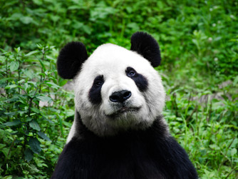 Chengdu and a panda's love for bamboo