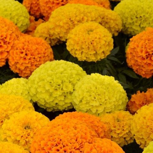 African marigold mixed 6pk