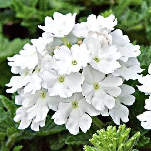 Verbena bush white 6pk