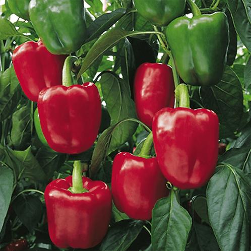 Sweet pepper plant - F1 Bendigo