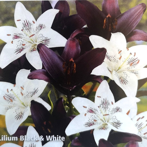 Lilium Asiatic Black & White mix