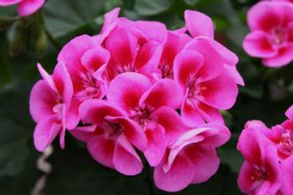 Geranium 'Flower Fairy Rose' 14cm pot